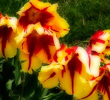 Firecracker Tulips by laxwings