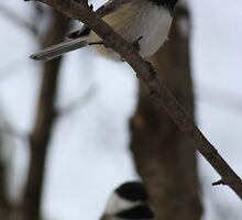 Chickadee Pair by Alyce Taylor