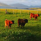 Curious Coos by Bondbloke