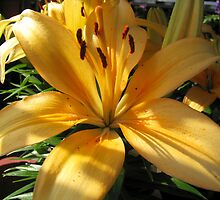 Lily close-up by Detlef Becher