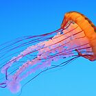 Pacific Sea Nettle by Lauren Banks