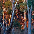 Eucalypt Forest by Harry Oldmeadow