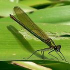 Green Damsel Fly by gillyenigmatic