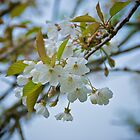 Blossom in Spring by IanJohnston