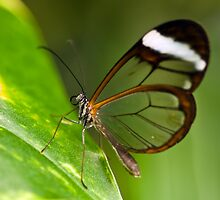 Clearwing Butterfly (Oleria rubescens) by Steve  Liptrot