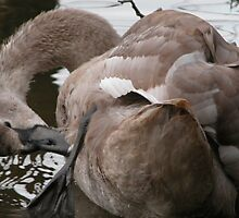 Signet Preening by PeachesBooth