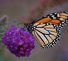 monarch butterfly by paul gavin