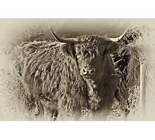 Highland Coo #2 Photographic Print