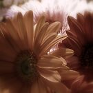Subdued Gerberas by Vanessa Barklay