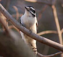 downy woodpecker by paul gavin