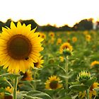 Sunflowers At Dusk by Daniel Justes