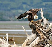 Bald Eagle - Ready by Barbara Burkhardt
