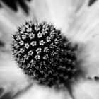 Heart of the White Explosion in Monochrome by Wayne Gerard Trotman