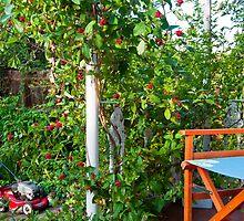 Honeysuckle Berries by DonDavisUK