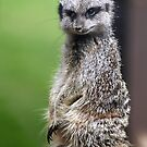 The Wily Meerkat by Wayne Gerard Trotman