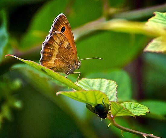 British Butterfly and Austrailian Fly by IanJohnston