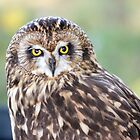 Short-Eared Owl 2 by Judy Grant