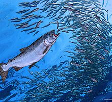 Chinook Salmon by RalphMartens
