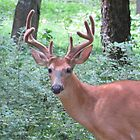 Whitetail Deer in Amherst, Virginia, USA - by Ginny York by Ginny York