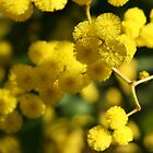 Wattle by Helen Phillips