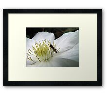 Hoverfly on a Virgins Bower Framed Print