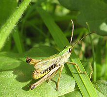 Grasshopper by shiro