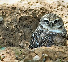 "Burrowing Owl - ""Mr. Big Eyes"" by Dennis Stewart"