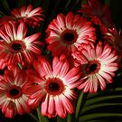 Gerbera Games by BettinaSchwarz