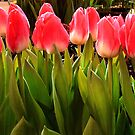 Tulips On a Row by ienemien