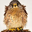 Baby Kestral by igotmeacanon