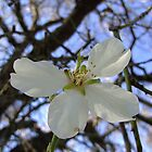 Almond Flower by largo