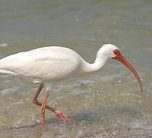 White Ibis by kinz4photo