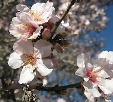 Almond tree flowers by ilanale