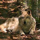 Canadian Wolf by Alyce Taylor