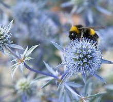 Sea Holly by lou-lou