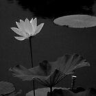 Lotus #51 by Janos Sison