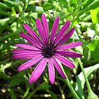 Purple Daisy by AlieW