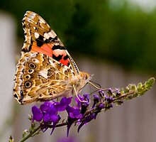 Painted Lady by Geoff Carpenter