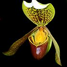 Slipper Orchid by Maureen Clark