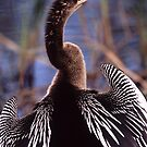 Anhinga on Display by William C. Gladish
