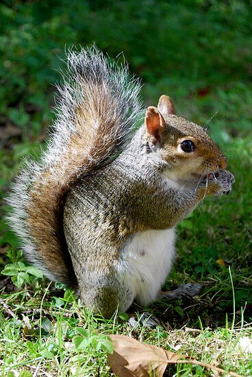 Grey Squirrel by Luci Mahon