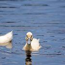 Baby Ducks In My Backyard by Joe Norman