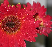gerber daisy by paul gavin