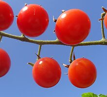 Cherry Tomatoes by AlieW