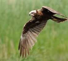 Marsh Harrier by marzio
