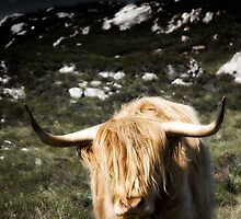 Highland Cattle by maxblack