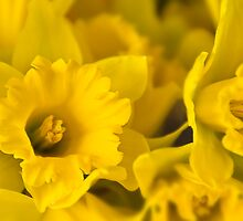 Yellow Daffodils by Jaxybelle