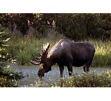 Bull Moose - 11646 Photographic Print