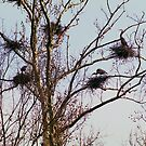 100408-2  C.V.N.P. BLUE HERON ROOKERY by MICKSPIXPHOTOS