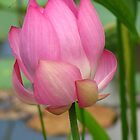 Pink Lotus by NatureGreeting Cards ccwri
